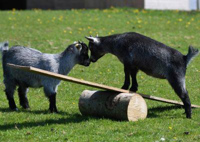 goats-1