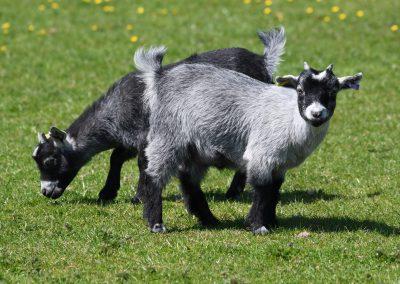 goat-4